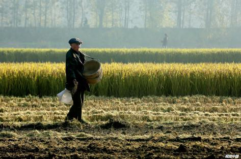 2016年11月6日,江苏淮安袁集乡农民视觉中国在收割水稻。