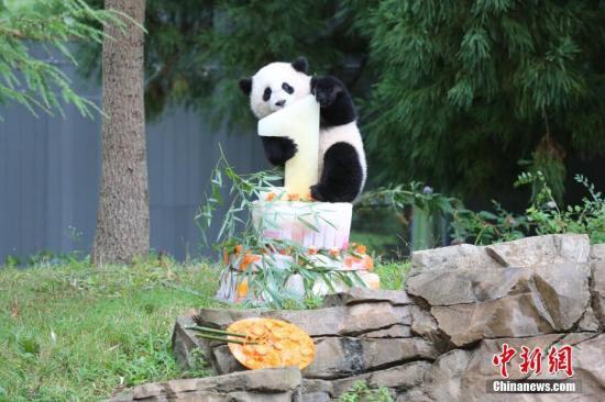 """1岁时的年夜熊猫""""宝宝""""。中国年夜熊猫维护研讨核心 供图"""