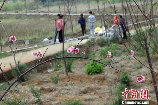石坑樱花生态园的樱花已零星开放。 周金有