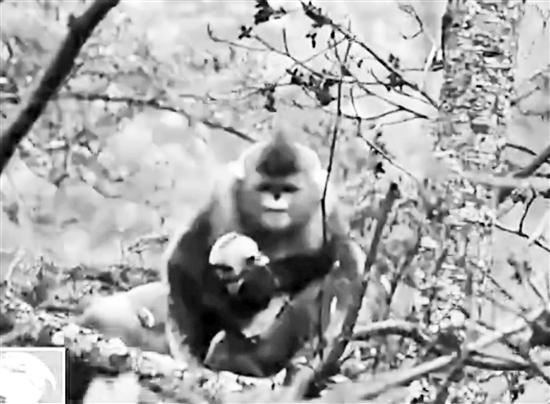 """妈妈倍加呵护刚出生的小滇金丝猴""""雪儿""""。视频截图"""