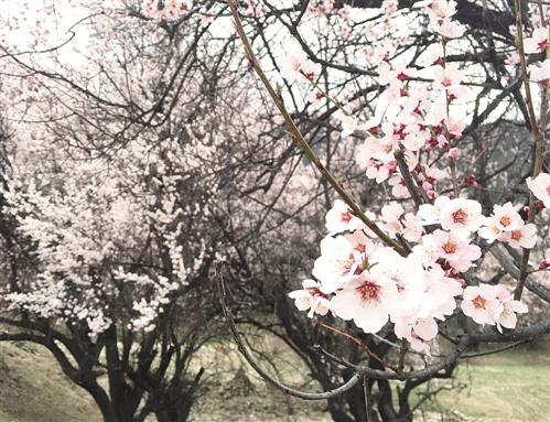 3月,西藏林芝八一镇的桃花次第开放,阵阵幽香沁人心脾。本报记者 代 玲摄