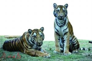 粤北华南虎繁育中心生活着的威猛华南虎。