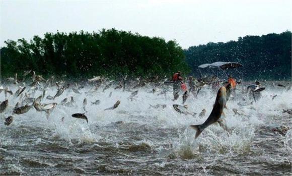 凶猛的亚洲鲤鱼在美国淡水水系几乎没有天敌