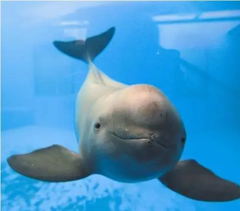 我国特产的淡水豚,体呈纺锤形。长江中下游干流是其主要活动范围,属濒危动物
