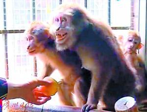 被救下的3只猕猴