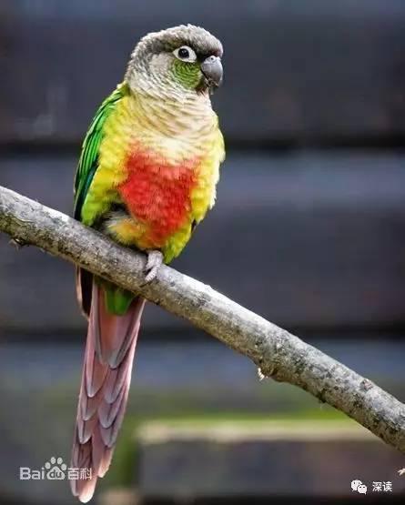 △上图为小金太阳鹦鹉,学名绿颊锥尾鹦鹉