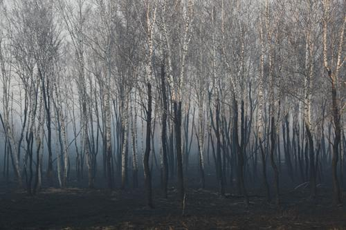 被大火烧过的白桦林