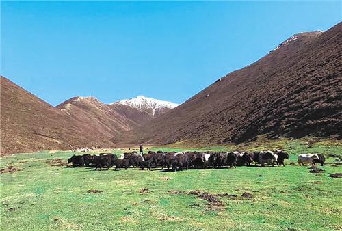 生态畜牧业已经成为上滩村脱贫致富的主导产业。图为牦牛养殖大户李存库正在山上赶牛。