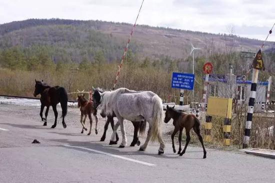 ▲ 大马带着小马驹
