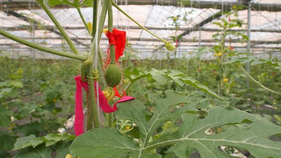 古坊村大棚里的小西瓜已经结果,果上系着红布条是为了选种。(摄影:中国日报记者 左卓)