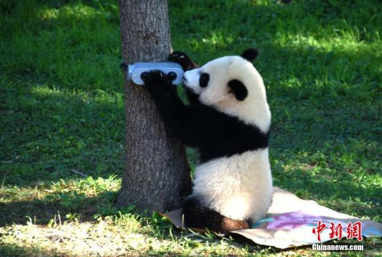 大熊猫贝贝庆祝一周岁生日 资料图。中新社记者 刁海洋 摄