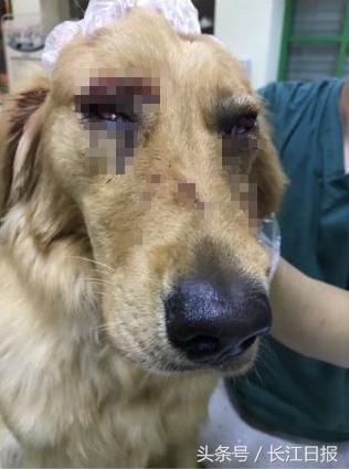 剃光毛后金毛犬腹部多处伤口明显,眼睛也呈充血状。 图片来源于微博网友@HUST_维维豆奶