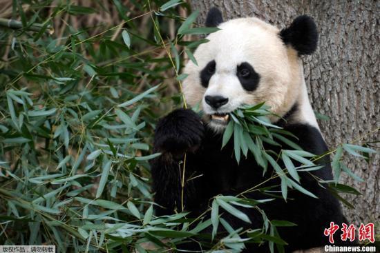 """图为""""美香""""在华盛顿国家动物园内进食。"""