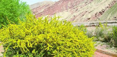 盛开在山里的黑加仑花丛。光明日报记者王瑟摄/光明图片