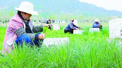 西营村村民收割小香葱。光明日报记者杨珏摄/光明图片