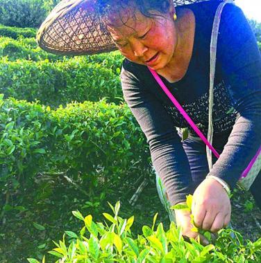 村民在采茶。光明日报记者唐湘岳摄/光明图片