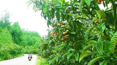 险岩村路旁的枇杷树。光明日报记者李玉兰摄/光明图片