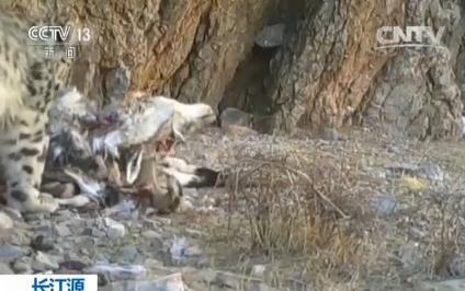 长江源地区大量珍贵野生动物活动画面首次披露