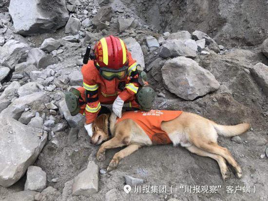 搜救期间,因为现场情况复杂,搜救难度大,小虎一度累倒在消防官兵的脚下。经过短暂休息,搜救犬小虎又投入到工作中。