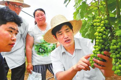 6月19日,陈增喜在南阳市宛城区大山农业科技示范园向果农传授有机葡萄栽培技术。⑨6崔培林摄