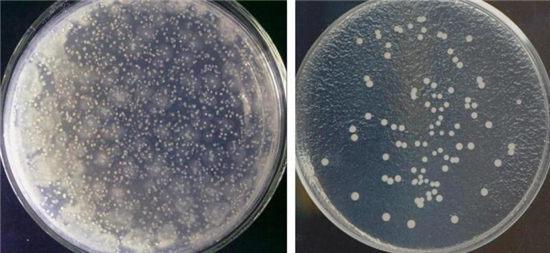 上图为:消毒前(左)后(右)菌落总数测定示意图(每100平方厘米)。