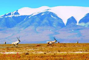 可可西里的藏羚羊