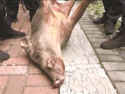 被击毙的野猪。
