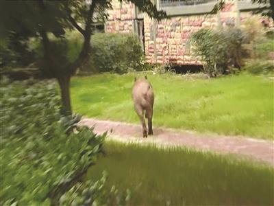 野猪闯入小区。