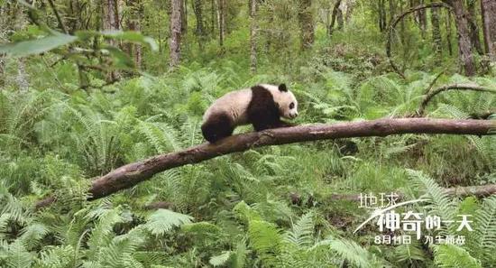 BBC请首位中国导演:拍熊猫宝宝扮熊猫还抹屎尿