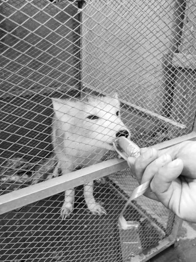 阅读更多关于《郑州一公园突现一只白狐 疑为养殖者放生》