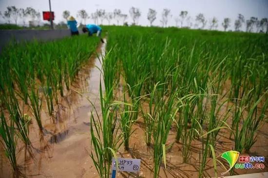 """位于青岛的""""海水稻""""试验田。中国青年网记者李拓 摄"""