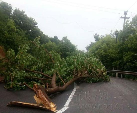 4日下午,重庆渝北210国道沿线的近10棵大树被拦腰吹断,使得道路交通受阻。(图片来源:视界网)