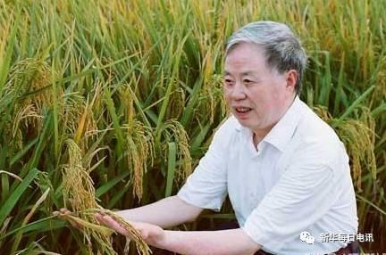 朱英国院士在查看水稻长势。  (供图:武汉大学)