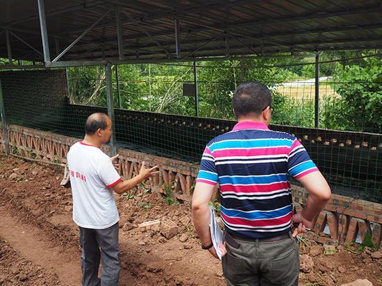 下沉成都督察期间,督察人员在简阳抽查养猪场养猪粪便处置情况。 澎湃新闻记者 刁凡超 图