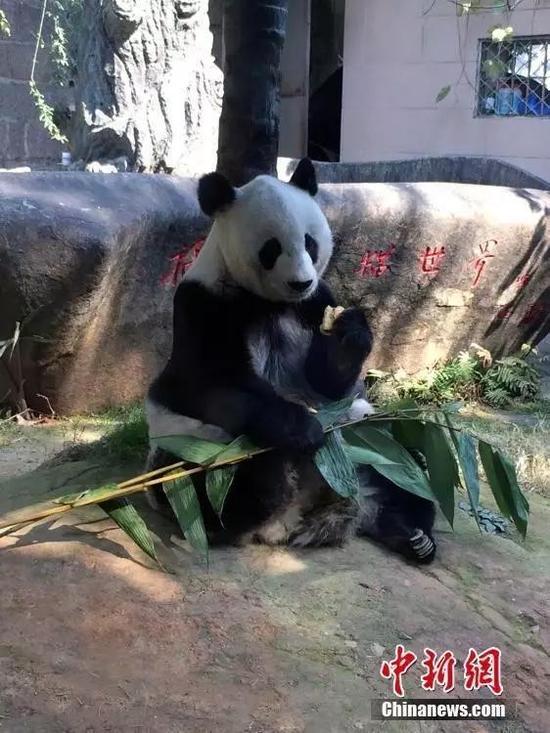 图为2015年35岁的熊猫巴斯。 中新社发 张丽君 摄