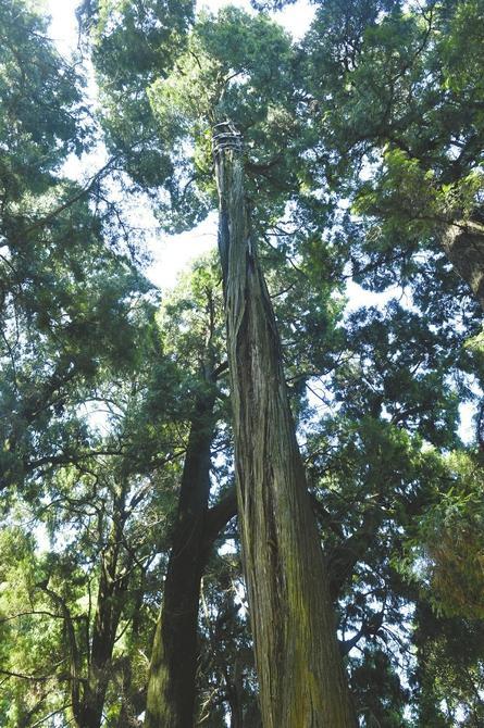 """""""剑阁柏""""树干中空,生长状况岌岌可危。"""
