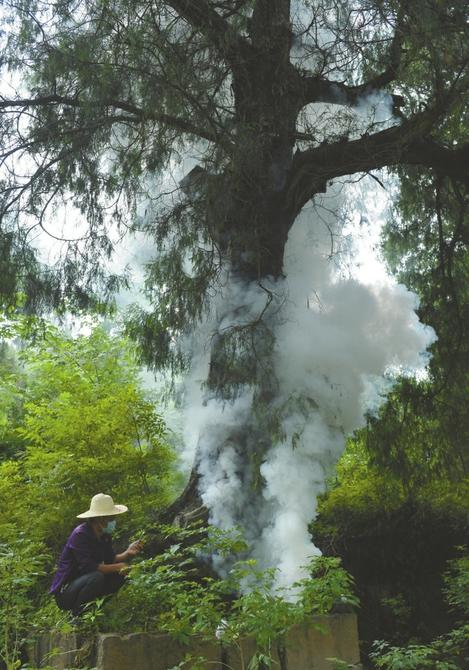 点燃烟碱苦参碱熏古柏树上的虫子。