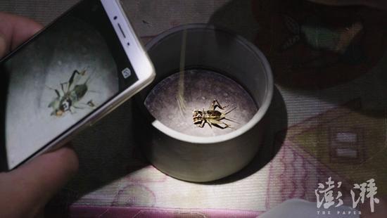 蟋蟀在牛筋草的挑拨下张开牙齿,发出鸣响,它的威武姿态被拍下后,将被发到用于拍卖蟋蟀的微信群中。