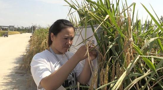 袁隆平海水稻今日测产 将在2.8亿亩盐碱地推广
