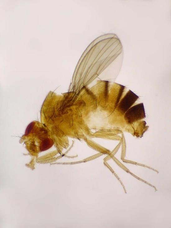 为啥是果蝇?
