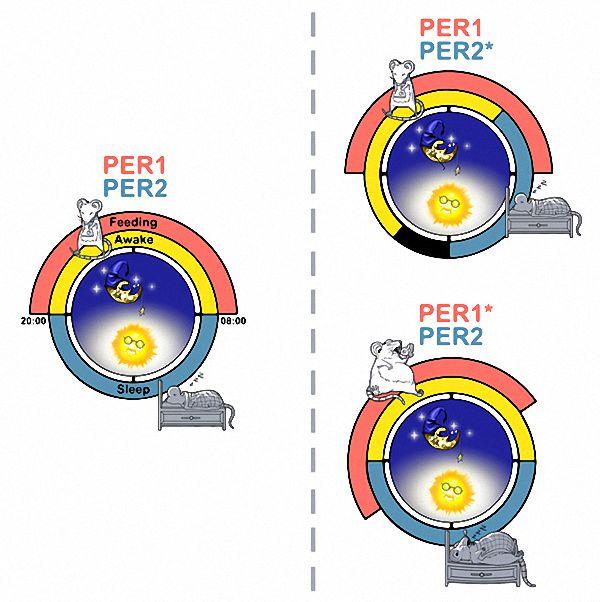 徐璎实验室研究发现,PER2基因突变导致睡眠相位前移,而PER1突变导致摄食相位前移。生物钟研究的商业和军事需求