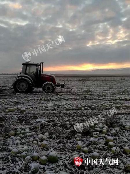 5日,新疆塔城降雪,对农产品收割造成一定影响。(曾春雷 摄)