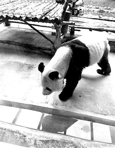 网友拍摄的照片中,大熊猫已经瘦得肋骨清晰可见