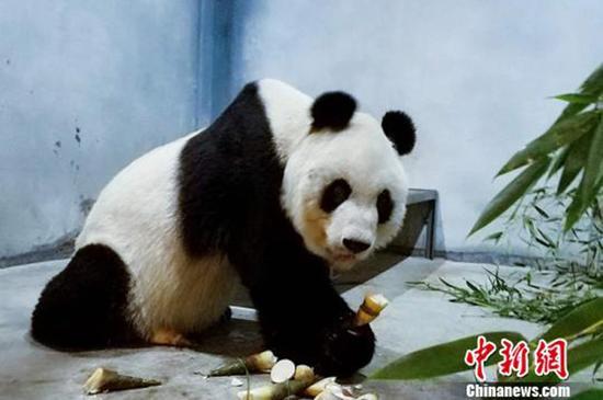 大熊猫健康及营养状况正在恢复。 中新网 图