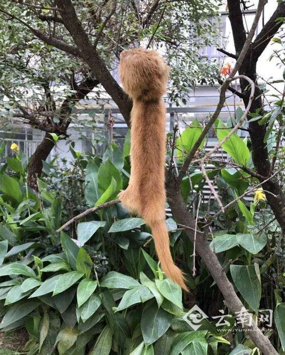 疑被人掏空身体挂树上的动物尸体