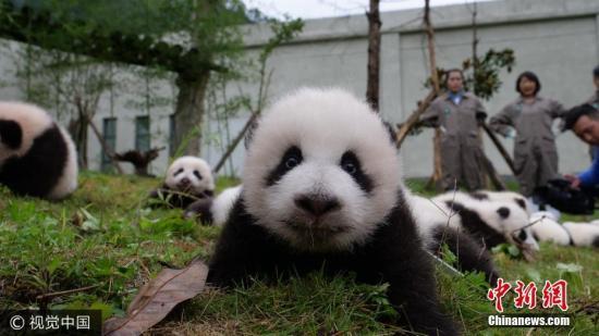 2017年10月13日上午,中国大熊猫保护研究中心36只2017年新生大熊猫宝宝分别在雅安碧峰峡基地、卧龙神树坪基地亮相。 图片来源:视觉中国