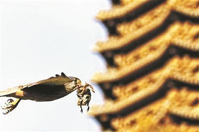 红隼捉到了一只麻雀,正飞过未名湖岸的博雅塔