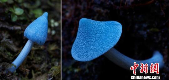 图为霍氏粉褶菌,图片来自Steve Axford 。昆明植物所供图