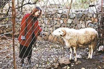 农庄里饲养有绵羊,晓雨会在夏季帮家里的羊剪毛