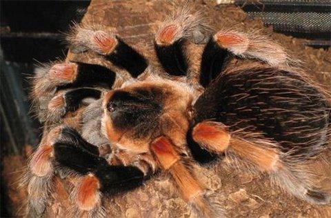 墨西哥巨人红膝蜘蛛。